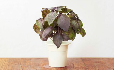 Basilic Rouge Recharge 3-Pack pour Smart Garden