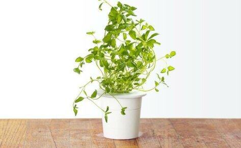 Oregano 3-Pack plant pods for Smart Garden