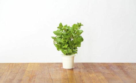 Menthe poivrée 3-Pack recharge pour Smart Garden