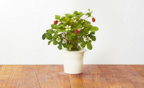 Wild Strawberry 3-Pack plant pods for Smart Garden