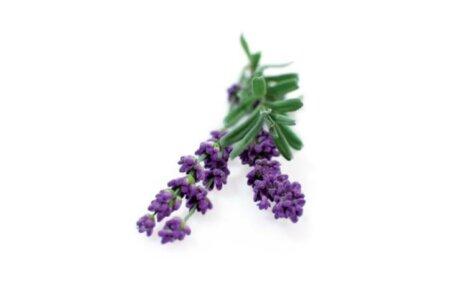 Lavender 3-Pack plant pods for Smart Garden