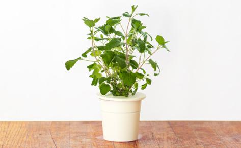 Catnip 3-Pack plants pods for Smart Garden