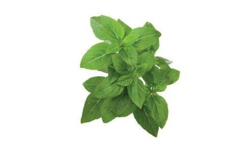 Dwarf Basil 3-Pack plants pods for Smart Garden
